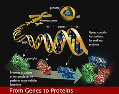 The human genome contains 3 billion  chemical nucleotide bases (A, C, T, and G). The average gene consists of 3,000 bases, but sizes vary greatly. The largest known human gene is dystrophin at 2.4 million bases.  The total number of genes is estimated at 30,000—much lower than previous estimates of 80-140,000. Almost all (99.9%) nucleotide bases are exactly the same in all people. The functions are unknown for over 50% of discovered genes.