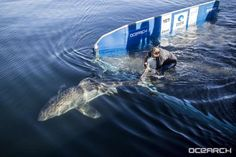 Great white Miss Costa being released.