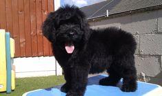 newfypoo - Newfoundland / Poodle --a cross between a fewdoundland and Oliver?!?! Oh my
