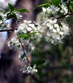 Unidentified Crataegus, Hawthorn, very showy for a few days in spring. Spring, Day, Flowers, Plants, Flora, Plant, Royal Icing Flowers, Flower, Florals
