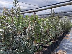 Description and images of the Transvaal milkplum tree (Stamvrug) which you can buy at Treeshop, Gauteng. Gardening ideas, specification and price of Englerophytum magalismontanum trees for sale. African Tree, Fast Growing Trees, Unique Trees, Golden Leaves, Flowering Shrubs, Evergreen Trees, Drought Tolerant Plants, Small Gardens, Potted Plants