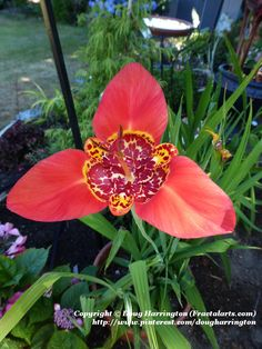 Exotic looking Tigridia in my garden. These are not hardy so I grow them in pots and overwinter them.