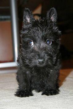 Scottie Puppy! 8 weeks old. Adorable prince. #scottie #scottishterrier #prince #Puppy