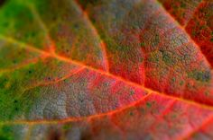 Couleurs d'automne - Autumn colors - Feuille d'érable - Maple leaf Plant Leaves, Nature, Plants, Garden, Colors, Garten, Naturaleza, Planters, Gardening