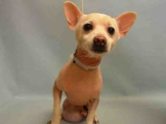 PEPPY - A1072669 - - Manhattan  Please Share:   TO BE DESTROYED 05/08/16 **NEEDS A NEW HOPE RESCUE TO PULL**  Poor little Peppy is a 13 year old Chi mix surrendered to the ACC because his owner is sick. Shelter staff said that he is a calm boy in his cage and doesn't have much of an appetite. His former owner never took him to the vet so now he had some medical issues that will need to be addressed once he leaves the shelter. Won't someone take a shine to this o
