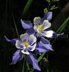 The 15 Most Beautiful Flowers In The World Colorado Columbine or Aquilegia vulgaris (derived from the Latin word aquila meaning eagle) is the state fl.