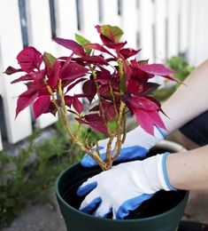 Transplanting Poinsettia Plants: Can You Transplant Poinsettias Outside - Transplanting poinsettia plants will ensure they get plenty of root room as they grow and a new source of nutrition. The secret to healthy plants is knowing how to transplant poinsettias and what continued care they need. Learn more in this article.
