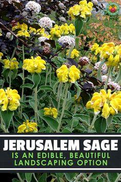 Contemporary Garden Design Jerusalem Sage is an Edible, Beautiful Landscaping Option - Modern Herb Garden Design, Diy Herb Garden, Garden Landscape Design, Edible Garden, Garden Ideas, Urban Gardening, Garden Tips, Vegetable Gardening, Backyard Ideas