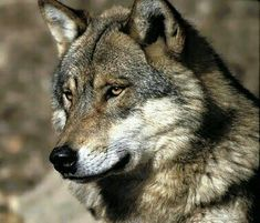 Beautiful Wolves, Animals Beautiful, Tamaskan, Wolf World, Wolf Life, Timber Wolf, Lone Wolf, Werewolves, Friends Forever