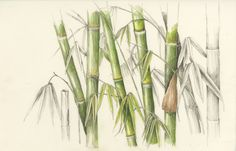 Ohe/Bamboo. Schizostachyum glaucifolium. These illustrations by Wendy Hollender appear on signage at the National Tropical Botanical Garden on Kauai to illustrate the canoe plants in their gardens.