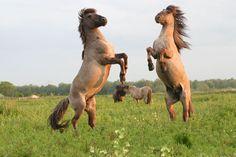 Wilde paarden op de veluwe.