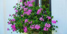Chcete-li se pochlubit krásnými muškáty, musíte jim věnovat správnou péči Outdoor Structures, Plants, Planters, Plant, Planting