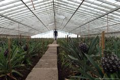 Azores Greenhouse pineapples by Yolanda Cardo photography
