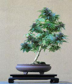Bonsai ganja tree :)   #weed #ganja #cannabis