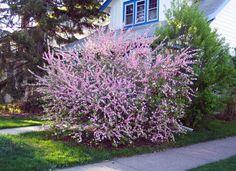9 best flowering almond images on pinterest almond almonds and flowering almond mightylinksfo