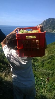 The grape harvest in the Cinque Terre is beauty and toil.Cultivating small terraced fields and keep them requires passion, patience and perhaps a touch of madness given the profit margins almost nonexistent and the constant risk ... but what a satisfaction!