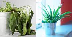 come recuperare una pianta secca