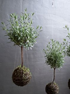 Unique Hanging Kokedama Ball Ideas for Hanging Garden Plants selber machen ball Garden Terrarium, Succulent Terrarium, Planting Succulents, Planting Flowers, Succulent Wall, String Garden, Ikebana, Air Plants, Indoor Plants