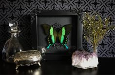 Victorian Peacock Swallowtail Butterfly Shadow Box, Taxidermy, Framed Butterfly, Preserved Butterfly, Victorian, Memento Mori, Gothic Decor by beyondthedarkveil on Etsy https://www.etsy.com/ca/listing/534052582/victorian-peacock-swallowtail-butterfly