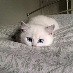 coby the cat with prettiest eyes
