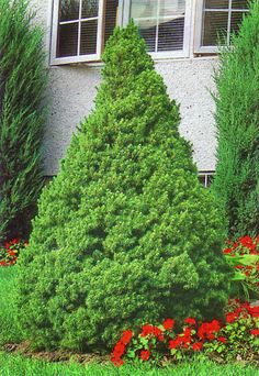 Wee willie boxwood dwarf rounded shrub reaching 2 ft for Evergreen landscapes ltd
