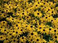 This attractive North American perennial, Rudbeckia fulgida var. deamii, is perfect for a naturalistic prairie style planting scheme. Drought tolerant, it produces masses of yellow daisy like flowers from late summer to mid autumn.