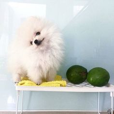 Grab your T-Shirt if you love Pomeranians⏩Check the link in @pomeranianworld profile! International shipping!  To be featuredFollow us! Use tag #pomeranianworld  NOTE! This photo is taken and reposted from: @littleloewy  All images are copyright to their respective owners.