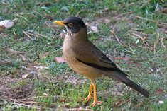 Aves de Bariloche: Zorzal patagonico Rhodesian Ridgeback, Exotic Birds, Fauna, Reptiles, South America, Animals And Pets, Patagonia, Amazing Nature, Beautiful