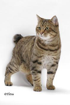 American Bobtail Domestic Cat