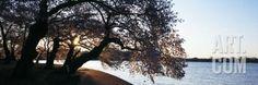 Cherry Blossoms at the Riverbank at Sunrise, Tidal Basin, Potomac River…