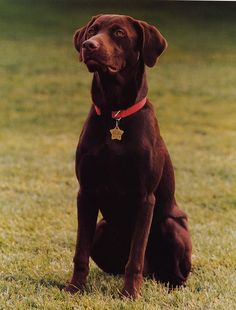 The Best Therapist has fur and four legs. Wanna be featured here Send us your finest labrador photos videos. Labrador For Sale, Pet Fox, Labrador Retriever Dog, Tier Fotos, Cute Dogs And Puppies, Labradoodle, Dog Walking, Mammals, Dog Breeds