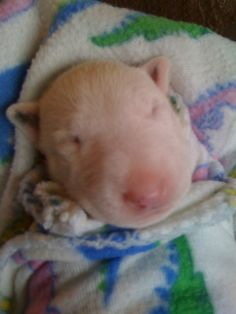 Newborn cuteness is almost too much yo handle Bull Terrier Puppy, Terrier Puppies, Bulldog Puppies, Dogs And Puppies, Baby Animals, Cute Animals, Miniature Bull Terrier, Newborn Puppies, English Bull Terriers