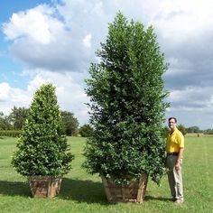 Cherry Laurel (Prunus caroliniana) makes a12 ft hedge in 3 yrs- eventually 20-30' x 15-25' ; regular water during first few years to establish; after that it can get by on low to moderate water