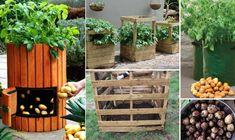 Grow burgonya a konténerekben (helytakarékos és növeli a hozamot) ~ Családi Élelmiszer Kert