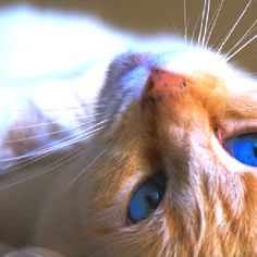 Bobby Blue, Flame Point Siamese
