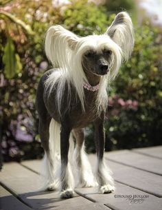 Chinese Crested Dog art portraits, photographs, information and just plain fun. Also see how artist Kline draws his dog art from only words at http://drawDOGS.com #drawDOGS http://drawdogs.com/product/dog-art/chinese-crested-dog-portrait-by-stephen-kline/