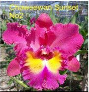 Site to sell your orchid plants Cattleya Orchid, Orchid Plants, Chemistry, Summertime, Exotic, Gardening, Flowers, Beautiful, Things To Sell
