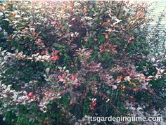 Barberry Shrub Attracts Bees to Your Garden! It also produces pretty red berries in Autumn ... For 4 Ways Barberry Shrub Improves Your #Landscape ... #gardening #garden #gardens #gardeningtips #gardeningtipsforbeginners #shrub #shrubs #lowmaintenance bees #beeslove #beelove