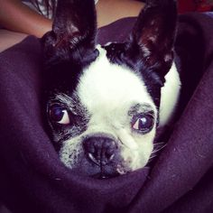 Boston terrier ♡ love Leonard  Leo i never stop love you i miss you love you Leo
