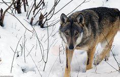 Because of his diet, the Italian wolf has a smaller than average size of their species. / Debido a su dieta el lobo italiano presenta una talla más pequeña que la del promedio de su especie.
