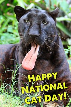 "Big Cat Rescue Photo Post Card Jumanji the Black Leopard ""Cat got your tongue?"""