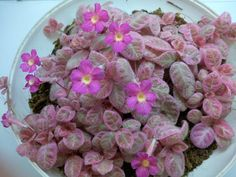 Episcia 'Pink Smoke' Pink Smoke, Saintpaulia, Pink Plant, Star Of Bethlehem, Hanging Planters, Tropical Flowers, Shade Garden, Houseplants, Indoor Plants
