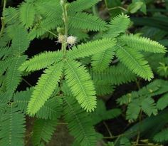 Mimosa-Pudica: commonly known as the Touch-Me-Not. Running a finger along the leaf simply causes it to fold inwards. It is believed the plant uses this feature to thwart predators. The closing leaves supposedly scare them away. Origins in South and Central America, but it is actually found all around the world.-