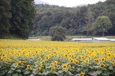 Fausett Farms Sunflowers Blue Ridge Scenic Railway, Best Weekend Trips, Sea To Shining Sea, Sunflower Fields, Autumn Activities, Dream Vacations, Places To See, Sunflowers, Farms