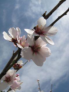~J Israel Almond Flowers. Shade Flowers, Floral Flowers, Wild Flowers, Beautiful Flowers, Mercy Seat, Gospel Bible, Almond Flower, Oil Treatment For Hair, Jerusalem Israel