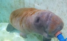 Daily Cute: Rescued Manatee Calf Drinks Milk | Care2 Causes