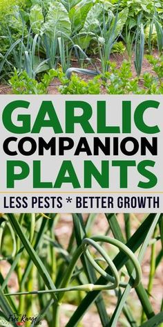 The Best Garlic Companion Plants For Your Garden Garlic is great to plant in your garden! Learn which crops are the best garlic companion plants to increase garden harvest, reduce pests, & improve flavor. Gardening For Beginners, Gardening Tips, Gardening Zones, Gardening Scissors, Allotment Gardening, Vegetable Garden For Beginners, Gardening Courses, Gardening Supplies, Container Gardening