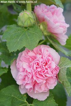 Alcea rosea Rose, Flowers, Plants
