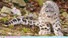 cute animals - Snow Leopard