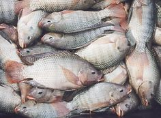 Tilapia - they love to live in small ponds inside your greenhouse.. and taste delicious.